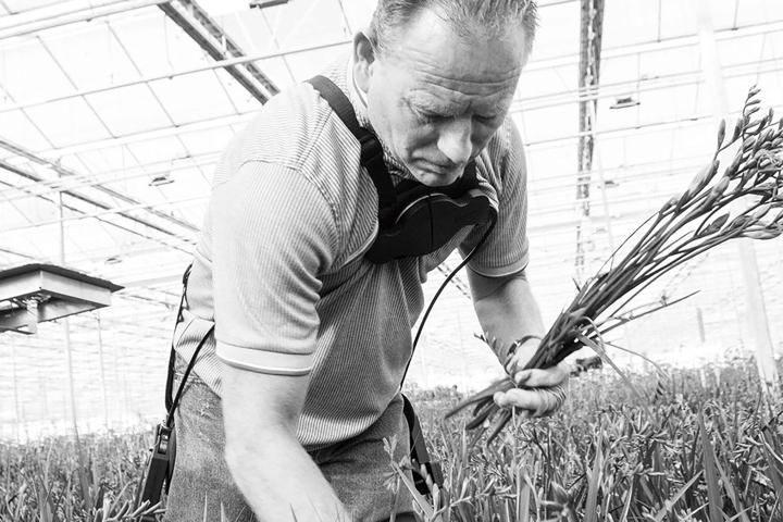 写真:腰をかがめて収穫作業をおこなう農家の様子